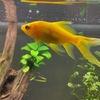 金魚の浮上性エサ