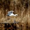 手賀川を飛ぶ純白のコサギ