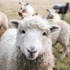 鳴かない羊でなく鳴く羊に