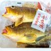 2021年5月15日 小浜漁港 お魚情報