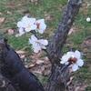 梅の花(⌒▽⌒)