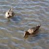 手賀沼公園のオナガガモ2羽と我が家のユウガオ