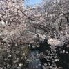 【目黒川】中目黒の桜 開花状況【2017年4月3日】