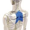 【筋肉の基礎知識】②筋肉の働き・主働筋・拮抗筋