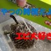 【指が!】亀にカメのおやつをあげる時は注意「ASMR」