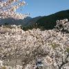 桜!桜!桜! 球磨郡の桜を巡る!