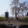 桜の京都:東寺と渉成園
