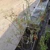 男の家庭菜園シリーズ26 ミニトマトのマリネ