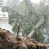 大雪で天橋立の松に被害、行き交う観光客も心配