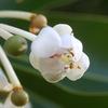 今日の誕生花「テリハボク」テリハボクの実は、アロマテラピー用の精油!高価なオイル!