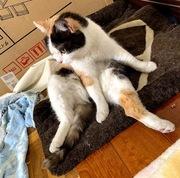 【肛門腺詰まり】を初めて起こした箱入り猫娘(スコティッシュフォールド♀1才)が【肛門腺絞り】を体験致しました。お互いひとりものの悲しいさがなんですね~