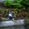 飛び出した青鷺