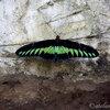 ペナン島ツアー その4 バタフライファーム「entopia」 蝶(チョウ)や蜥蜴(トカゲ)