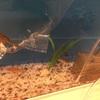 金魚とか熱帯魚を飼うことになった