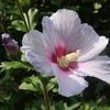 和風ハイビスカスむくげ咲き始めました。