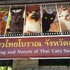 シャム猫(タイ猫)の保護活動にご協力よろしくお願いいたします!