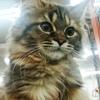 茶色い子猫が逃げた夢を見た翌日ペットショップに行ったらまさかの出会いが! ラガマフィン