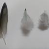 インコの素敵な羽根【サザナミインコのおはなし】