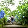明月院ブルーで有名な紫陽花が満開の北鎌倉 明月院を訪れたら、ディズニーランドなみの混雑でした。(Kamakura, Meigetsu-in)