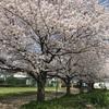 見事に満開の桜🌸綺麗😍✨