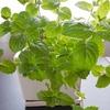 ニトリの370円のプランターにミントとシソを植えた