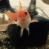 金魚が黒くなるのは回復期なのか