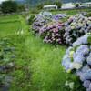 農道を彩る紫陽花 開成町 #5