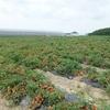 当選4件と フィール・コーミ 親子でトマト収穫体験とトマトケチャップ作りに挑戦!!に行ってきた