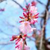 今日の桜 03/13