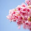 桜開花宣言2015@東京都港区