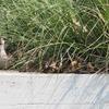 6月中旬:駒沢オリンピック公園周辺をお写んぽ。其の弐/軽鴨(カルガモ)観察編