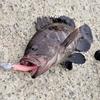 2017年7月19日 波崎漁港にて根魚釣り