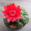 真っ赤な花のサボテン