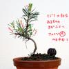 アカマツの新芽を観察(芽切りは先送り)