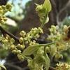 エノキとヤマモモの花