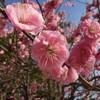 枝垂れ枝の八重紅梅の裏表