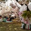 都内ですが今桜満開です!子連れで賑わう異国情緒たっぷりお花見スポット@新宿