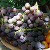 朝採りのブドウとトマトとギイギイ鳥のつまみ食い