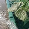 無農薬エゴマ葉収穫@新潟EMBC複合発酵バイオで栽培する健康農産物の会