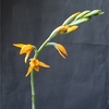 Chloraea chrysantha
