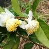 お茶の花と柿とハルミちゃん