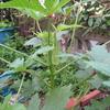 【家庭菜園】今日のオクラ(21、22回目の収穫、29~31本目)