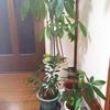 観葉植物  パキラの挿し木と植え替え