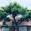 予告された柿の木の死