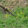 2019年4月7日の鳥撮り-千葉県北東部