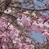 姫路城 桜7~8分咲き