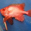 志摩沖で釣ったチカメキントキの話。