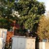 京都にも……アボカドの木!!!