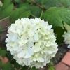 初夏の花の開花が始まりました。ースノーボール編