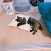 【子猫】ひやしちゅ~る始めました。